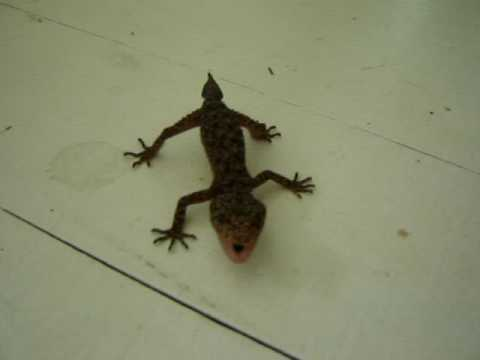 One Angry Gecko