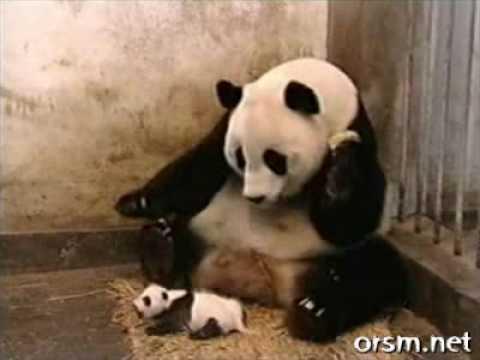 A Sneezing Baby Panda
