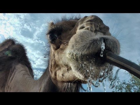 One Thirsty Camel