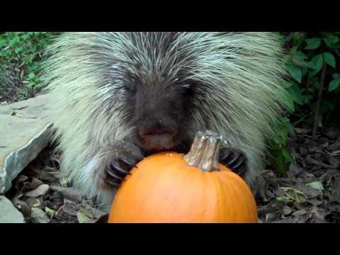 A Porcupine Eating A Pumpkin