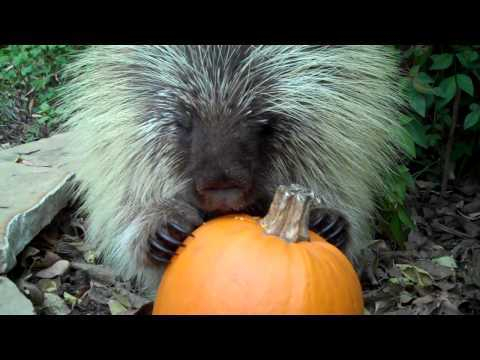 Video thumbnail for youtube video A Porcupine Eating A Pumpkin