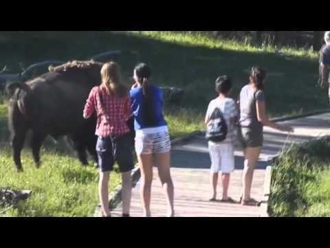 Video thumbnail for youtube video Angry Buffalo Chases Children
