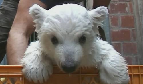 baby-polar-bear-walks