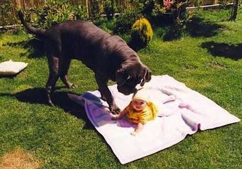 mastiff-baby-featured