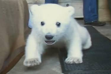 polar-bear-learns-walk