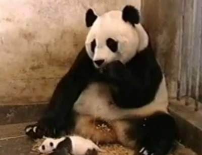 sneezing-panda