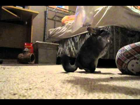 Adorable Chinchilla Tricks
