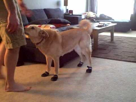 Dog Wears Boots For The First Time