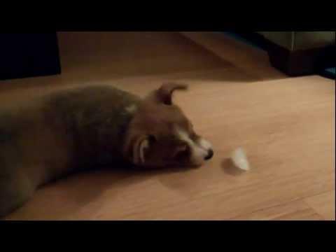 Corgi Puppy Versus A Piece Of Ice