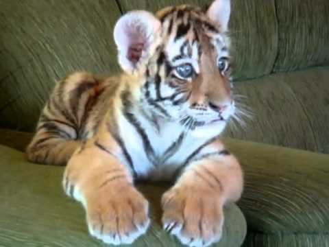 Just A Baby Tiger, Jumping On A Couch