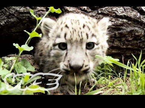 Some Adorable Snow Leopard Cubs