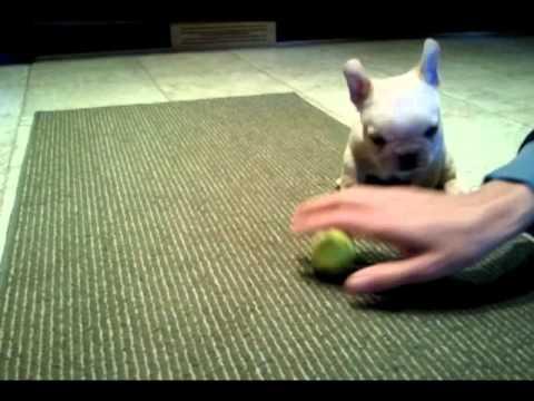 An Adorable Bulldog Puppy Plays With A Tennis Ball