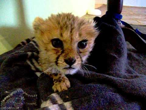 A Baby Cheetah Mews