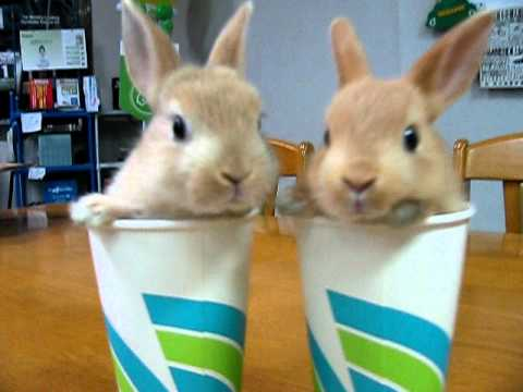 Rabbit Twins In Cups