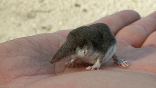 etruscan-shrew
