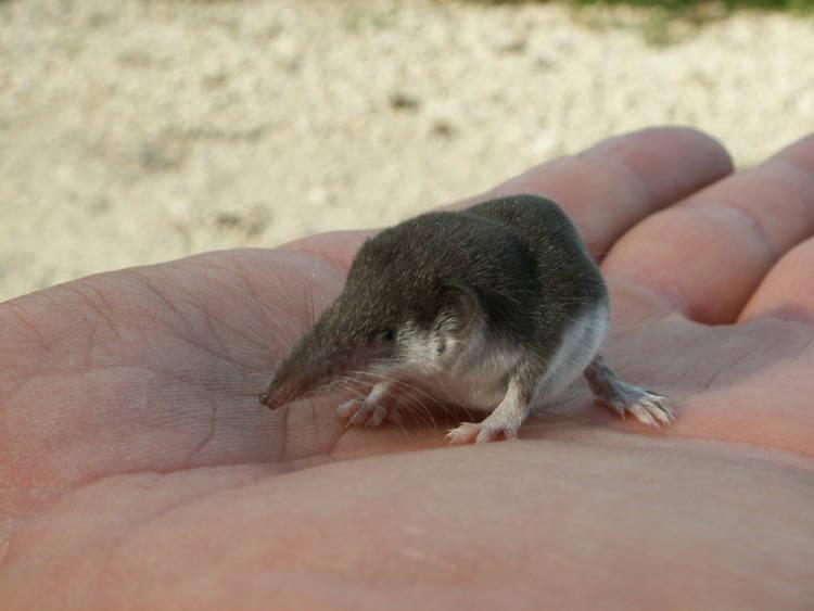etruscan shrew