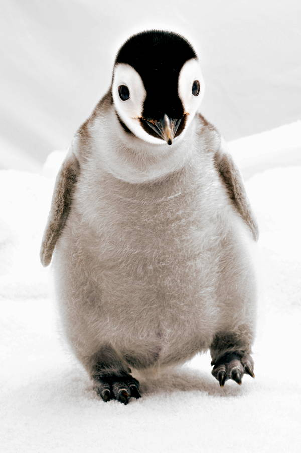 Adorable Penguin Baby