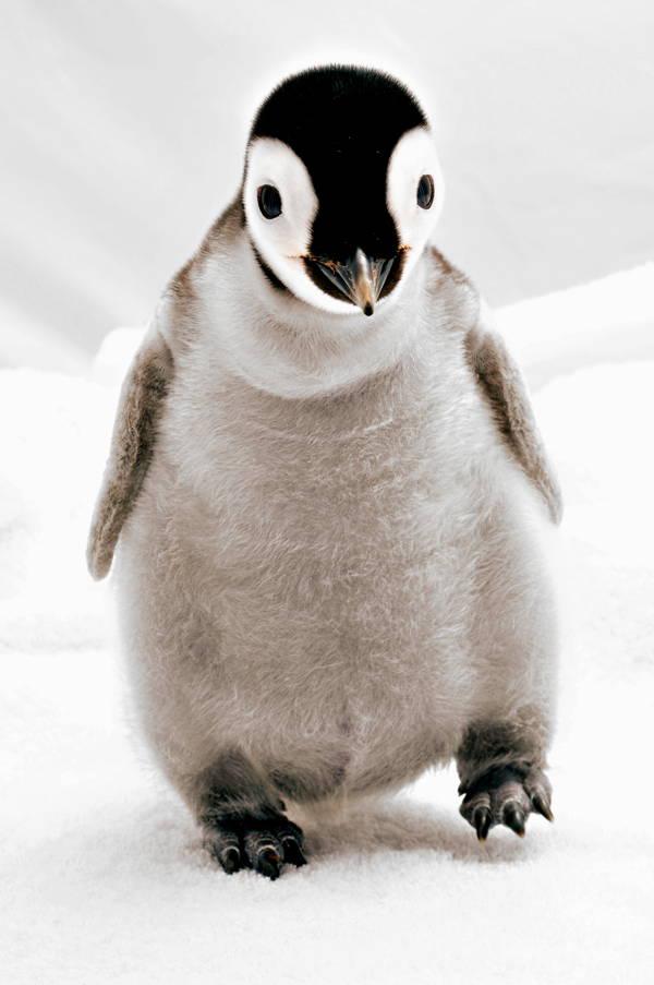 adorable-baby-penguin-2