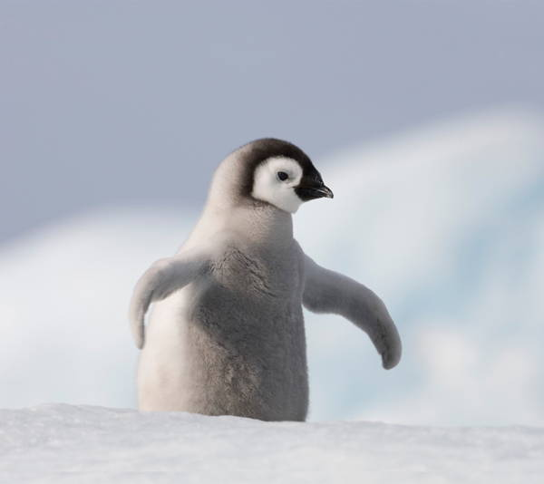 Adorable Penguin