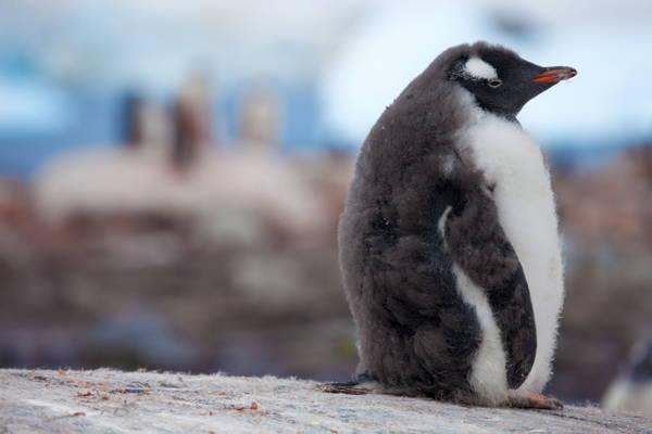 adorable-baby-penguin-4