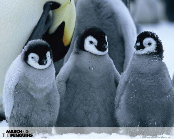 adorable-baby-penguins-10