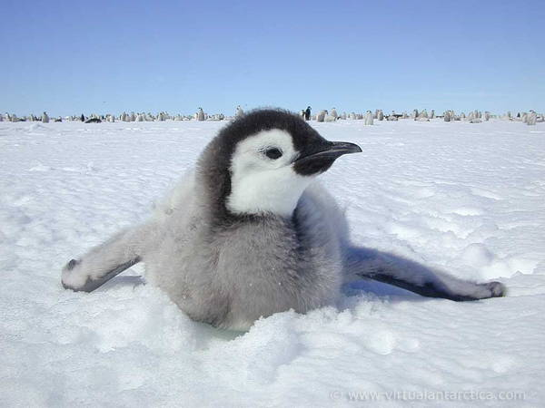 adorable-baby-penguins-11