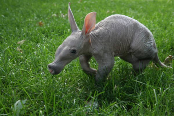 Baby Savanna Animals Aardvark