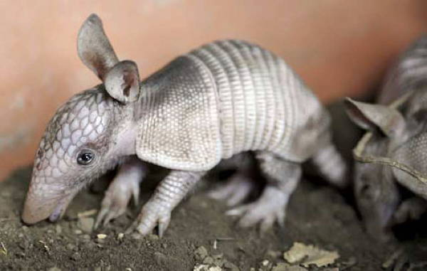 Baby Savanna Animals Armadillo