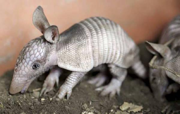 baby-savanna-animals-armadillo