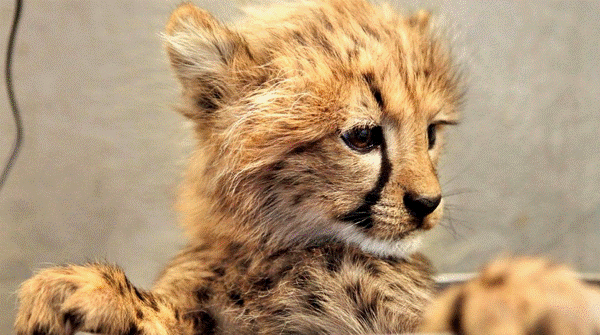 Baby Savanna Animals Cheetah