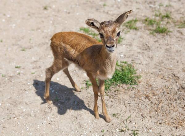 baby-savanna-animals-gazelle