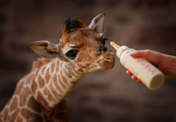 Baby Savanna Animals Giraffe
