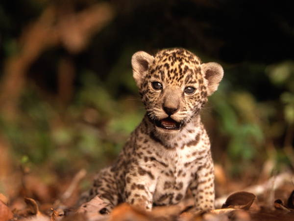 Baby Savanna Animals Jaguar