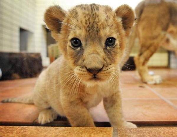 Baby Savanna Animals Lion