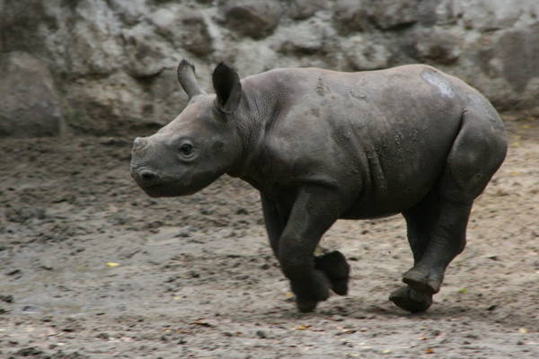 Baby Savanna Animals Rhino