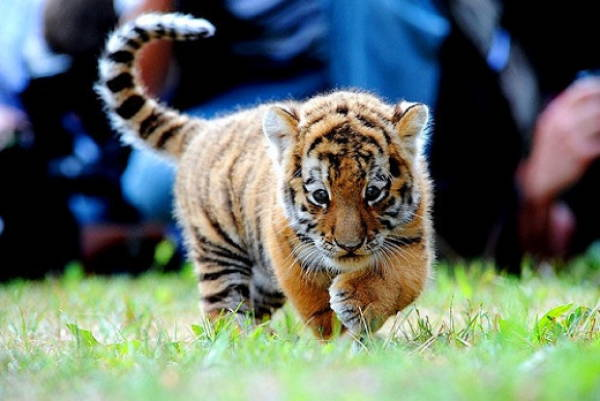 Baby Savanna Animals Tiger