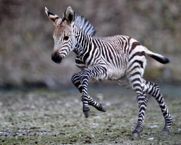 Baby Savanna Animals Zebra