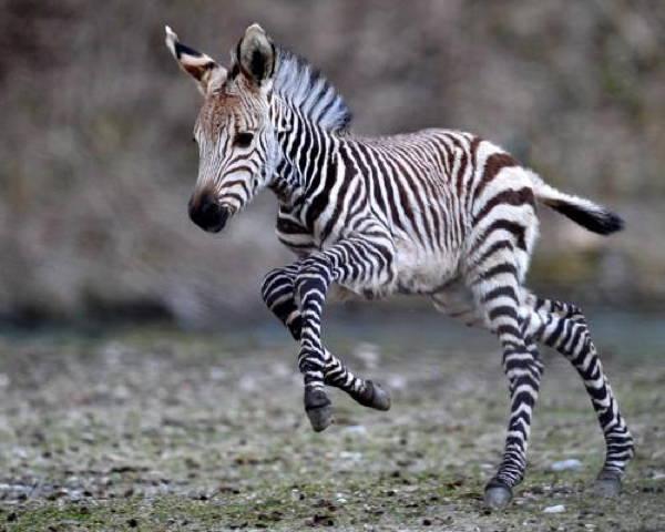 baby-savanna-animals-zebra