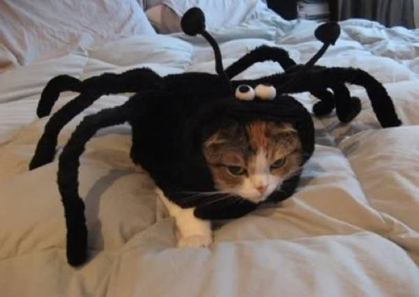 Ridiculous Cat Costume Spider