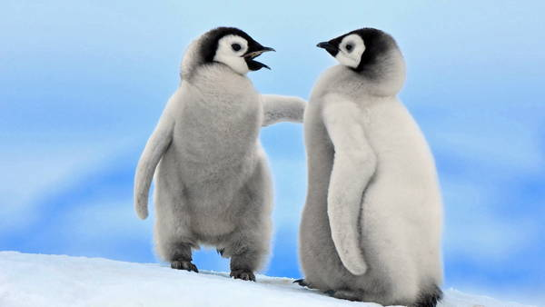 adorable-penguin-baby-6