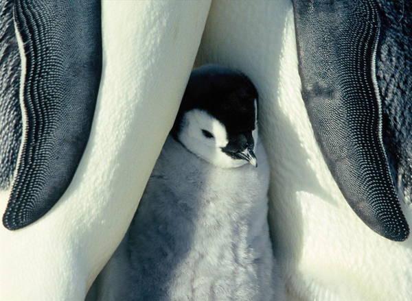 adorable-penguin-baby-7