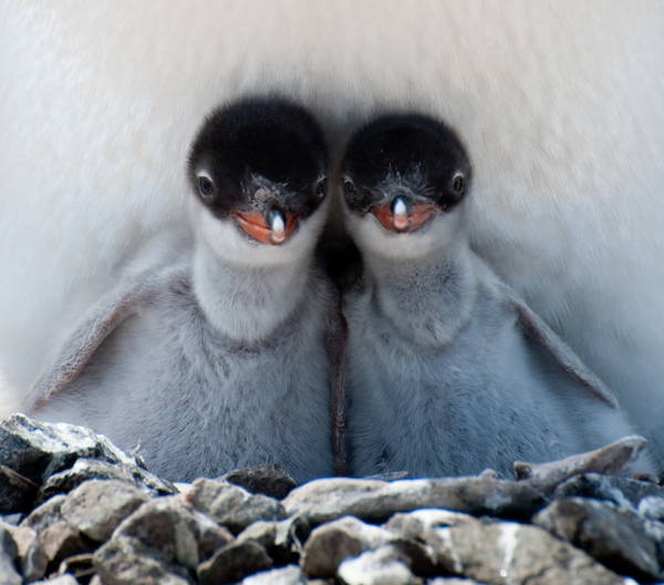 Cutest Baby Penguins