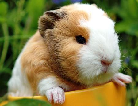 cute-guinea-pig-gif