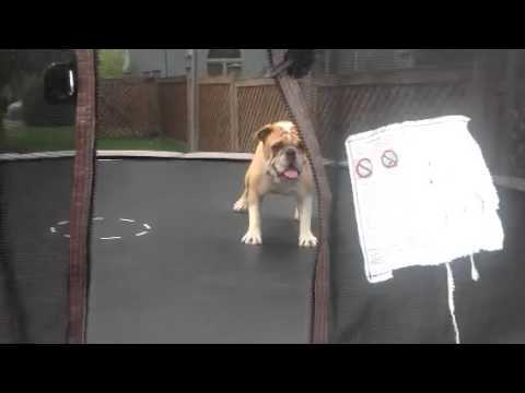 Video thumbnail for youtube video Dog Absolutely Loves Trampoline