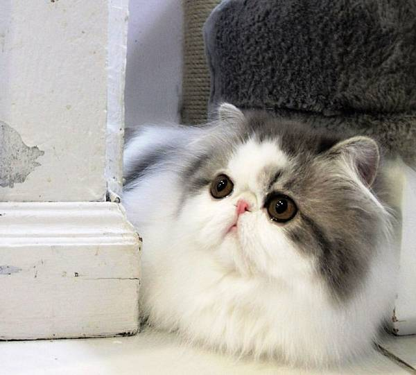 fluffiest-cats-instagram-hope-19