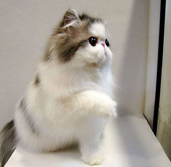 fluffiest-cats-instagram-hope-2