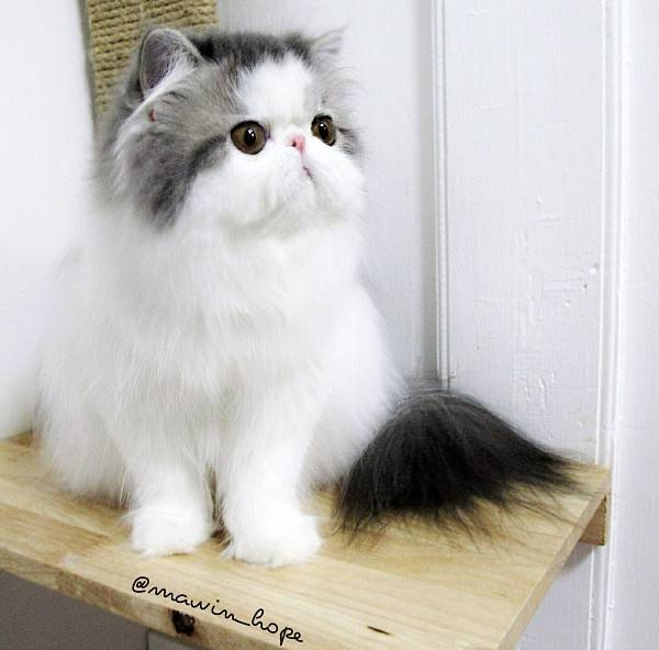 Fluffiest Cats Instagram Hope