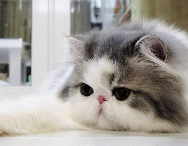 Fluffy Instagram Cat
