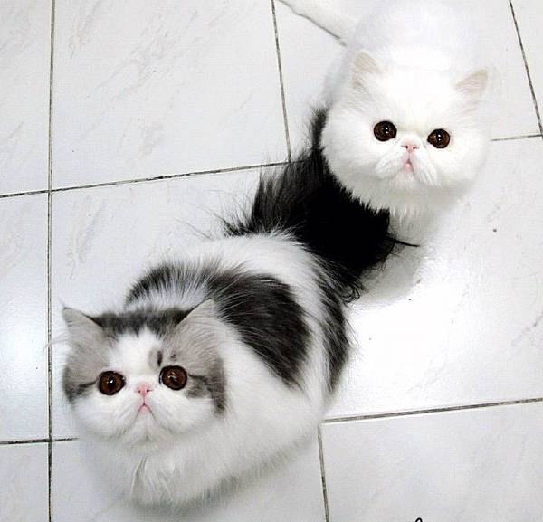 fluffiest-cats-instagram-hope-themis-1