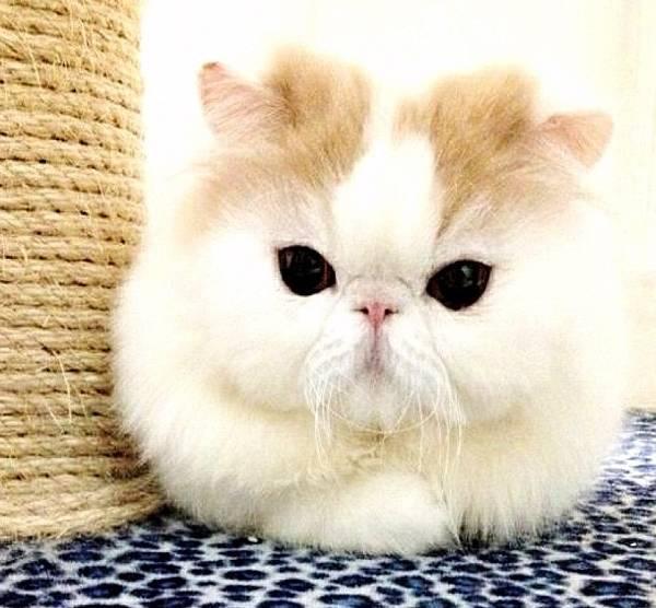 Fluffiest Cat on Instagram